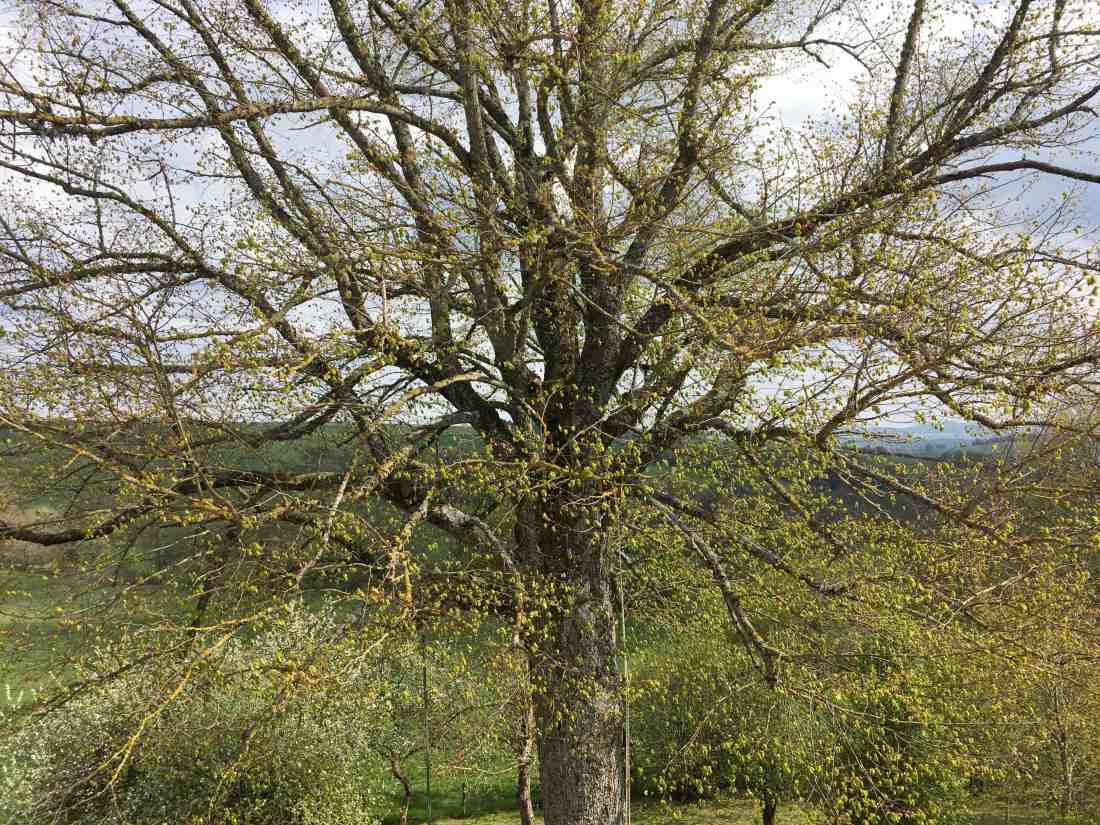 huge linden tree with freshly budding leaves; looking at its heart