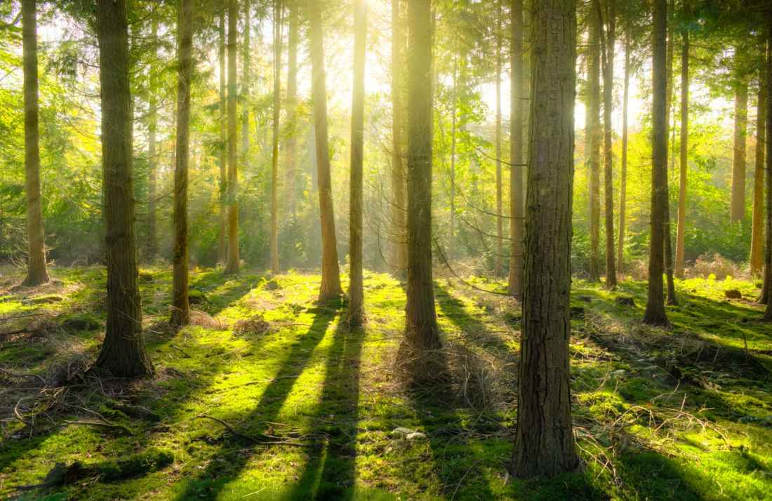 Morning sunlight filtering through a beautiful boreal forest