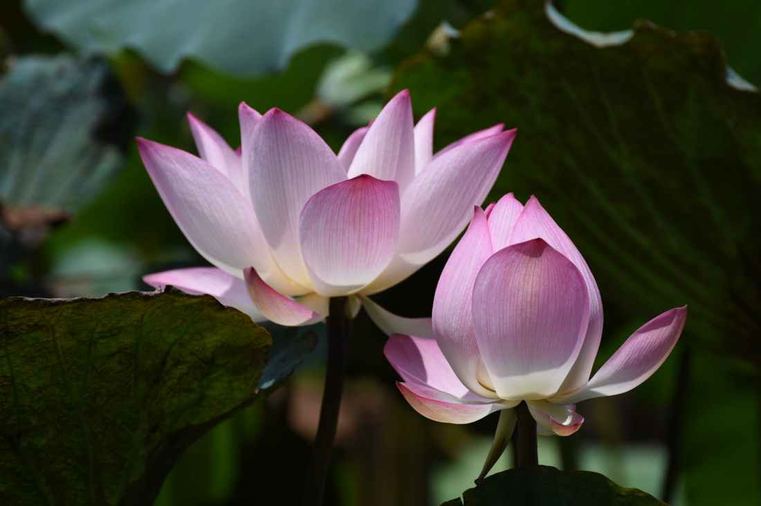 luminous lotus flower in bloom